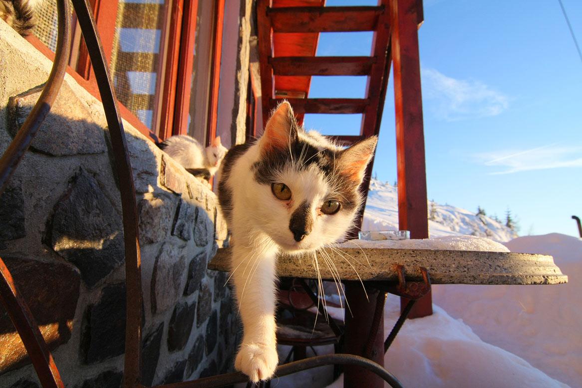 pisici la cabana