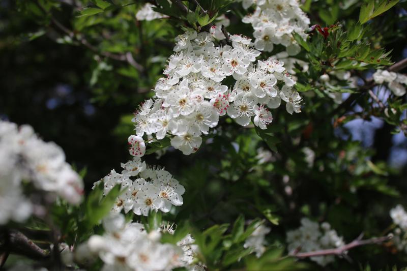 flori de mai în crai