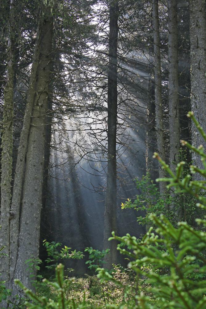 raze de soare în pădurea zănoagei