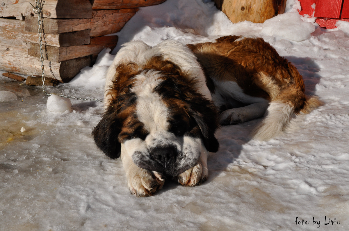 Câinele de la Cabana Dochia
