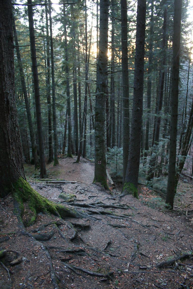 Potecă în pădurea de rășinoase Ceahlău