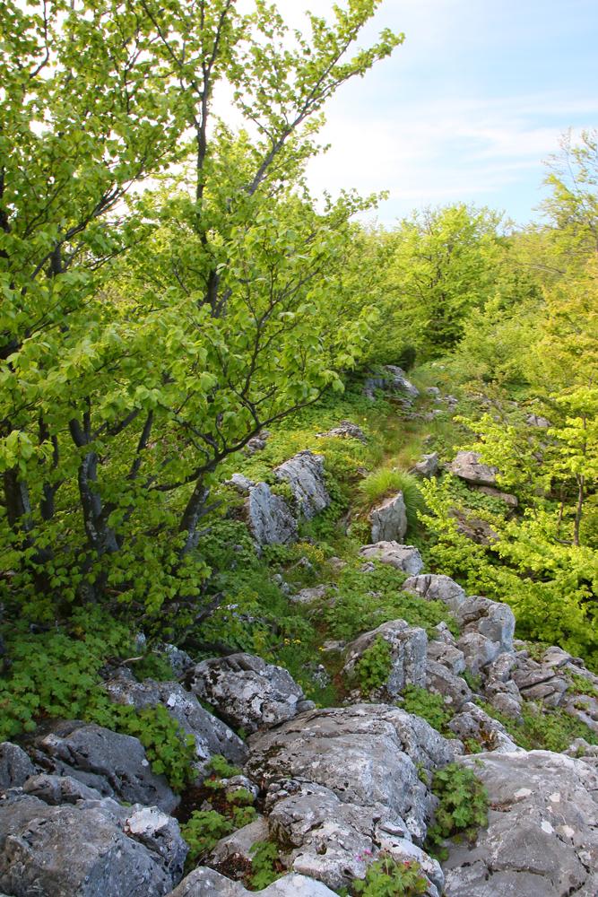 Pădure tânără de fag
