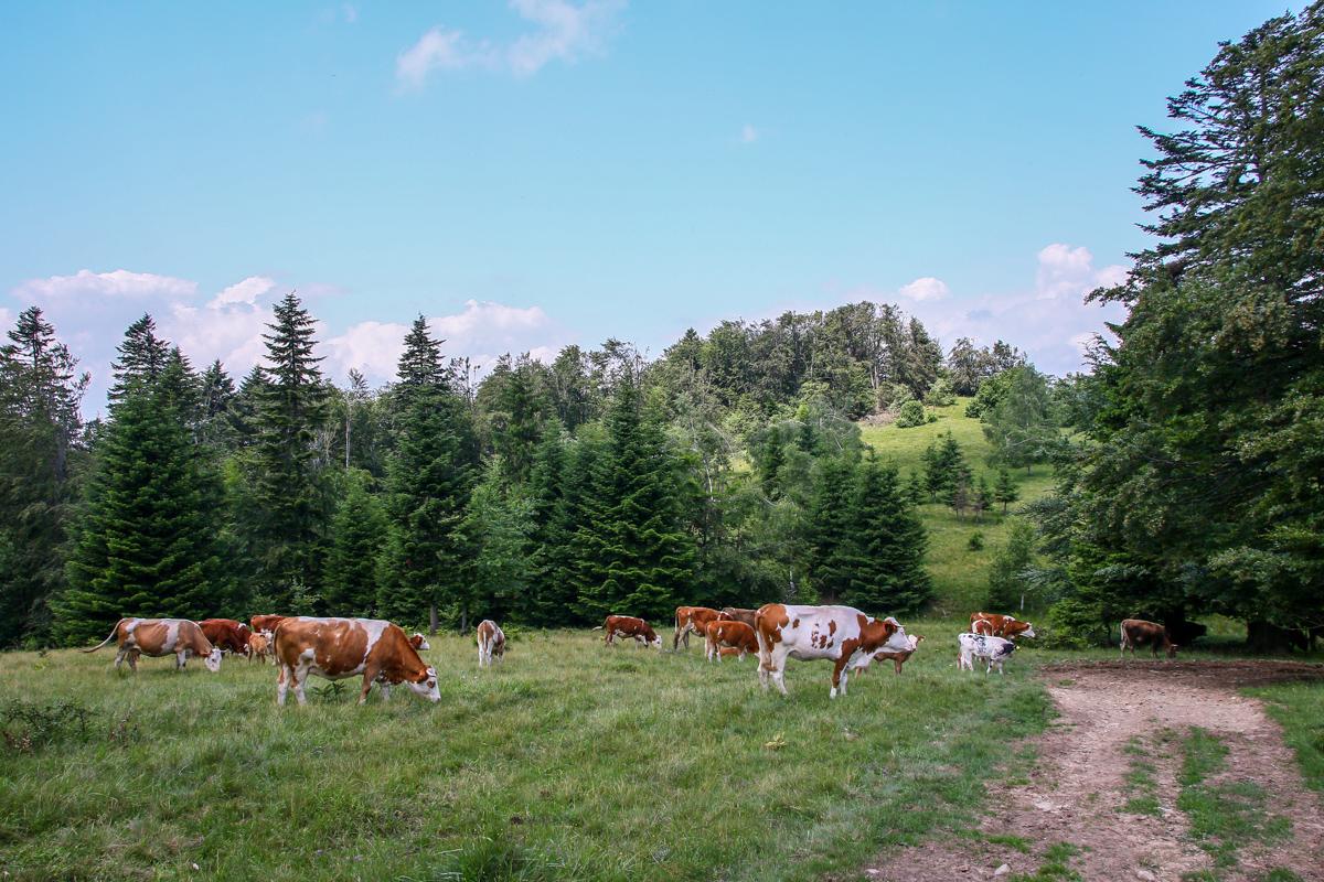 Turmă de vaci