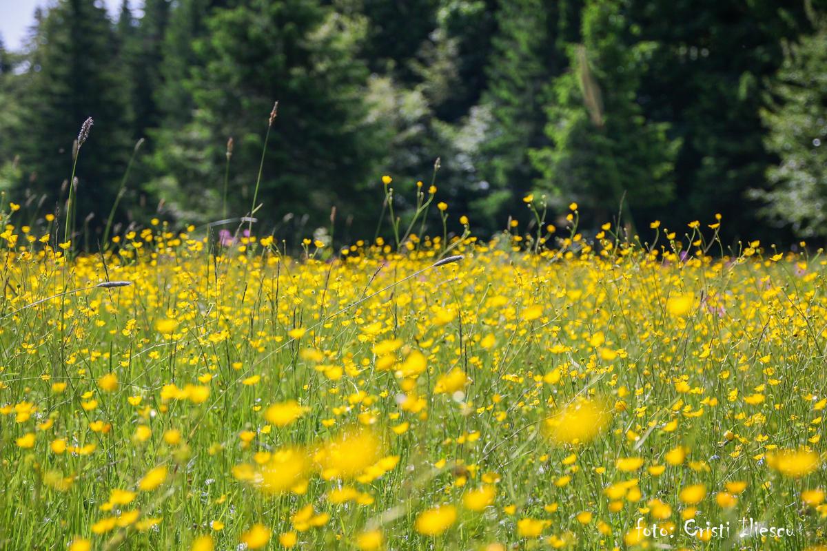 Floricele pe câmpii
