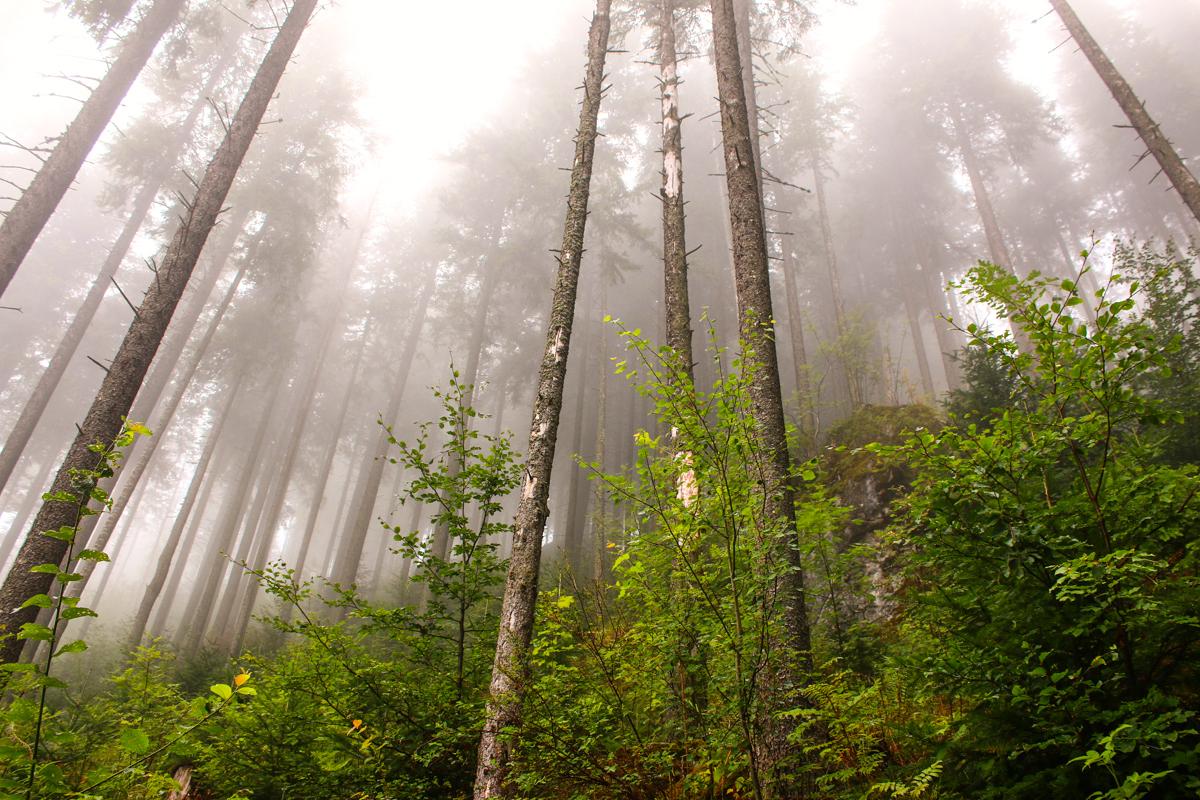 Ceață în pădure